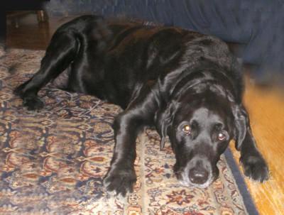 black lab on persian rug