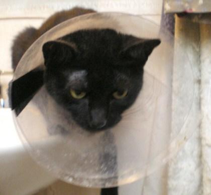 black cat with plastic collar.