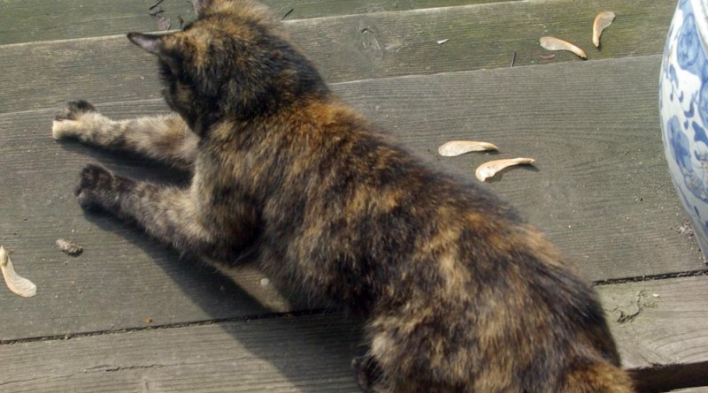 tortoiseshell cat scratching wood