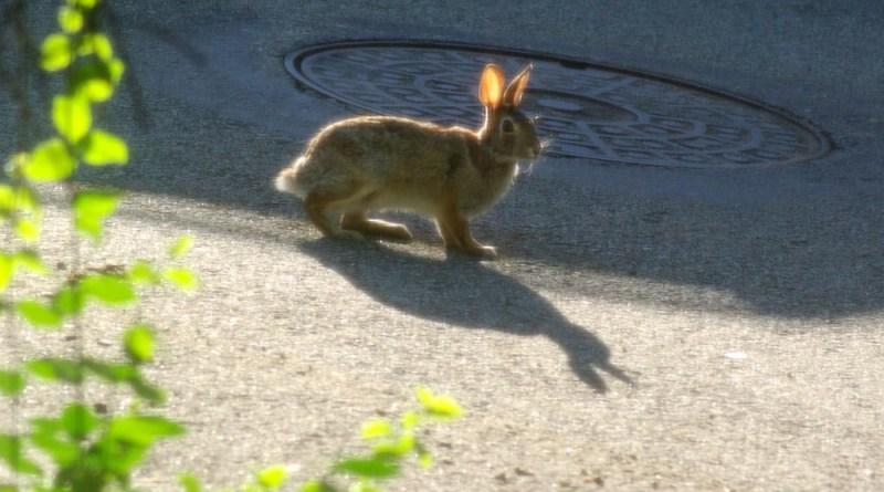 wild rabbit on street