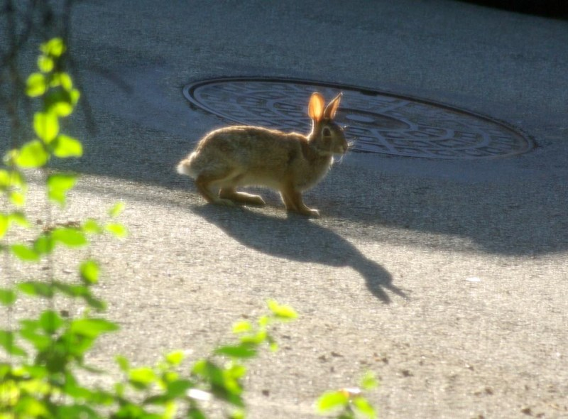 wild rabbit on street