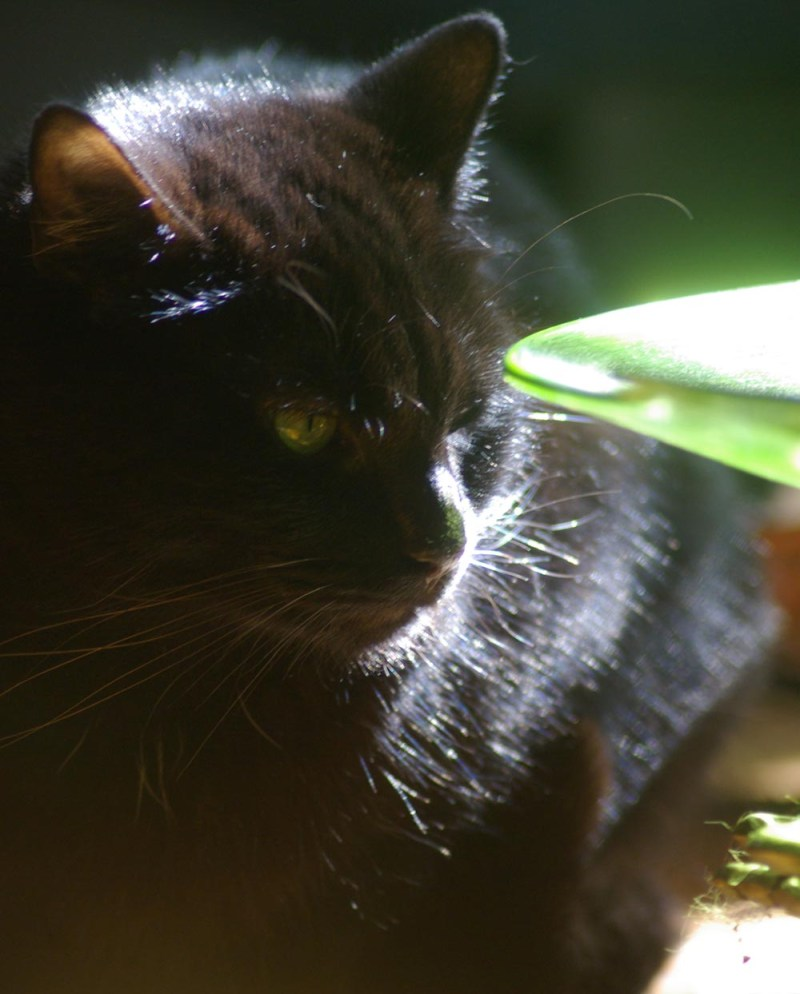 black cat with green dish