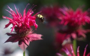 photo of bee balm with bee
