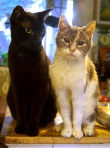 black cat and dilute calico