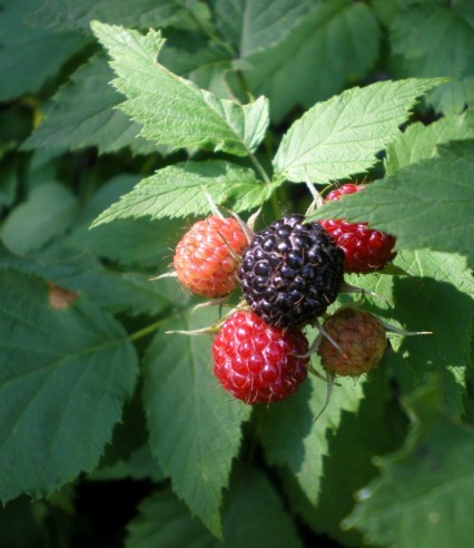 raspberries on the bush
