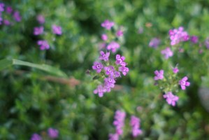 photo of willow herb
