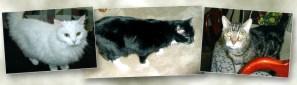 photos of three cats for adoption