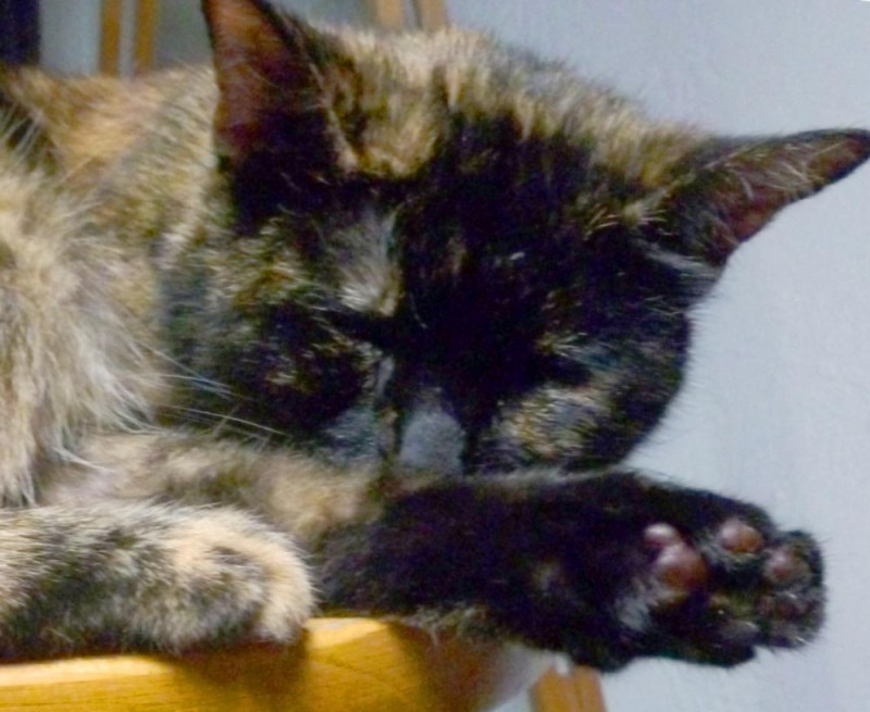 Tortoiseshell cat with pomegranate toes