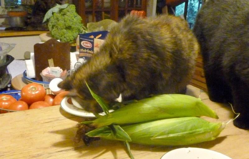tortoiseshell cat eating sweet corn