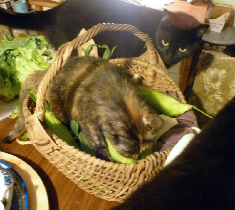 tortoiseshell cat in basket with corn black cat watching
