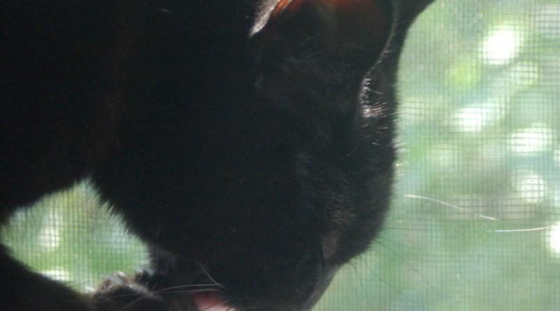 black cat bathing on windowsill