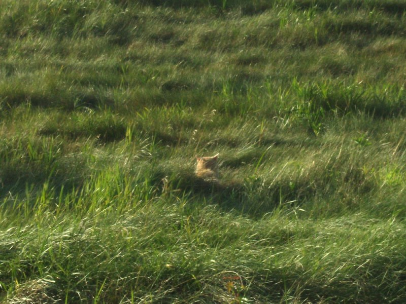 orange cat in field