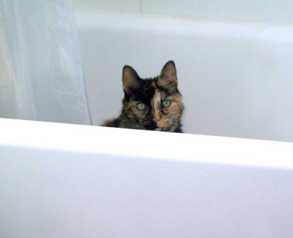 tortoiseshell cat in the tub