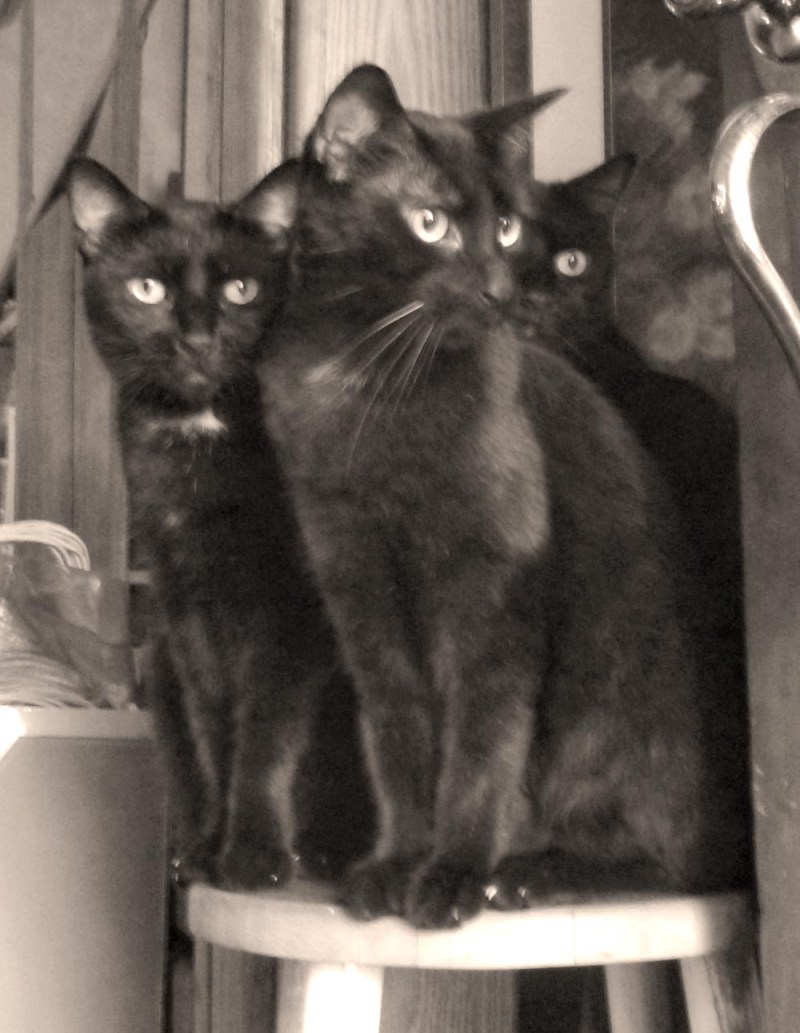 three black cats in sepia