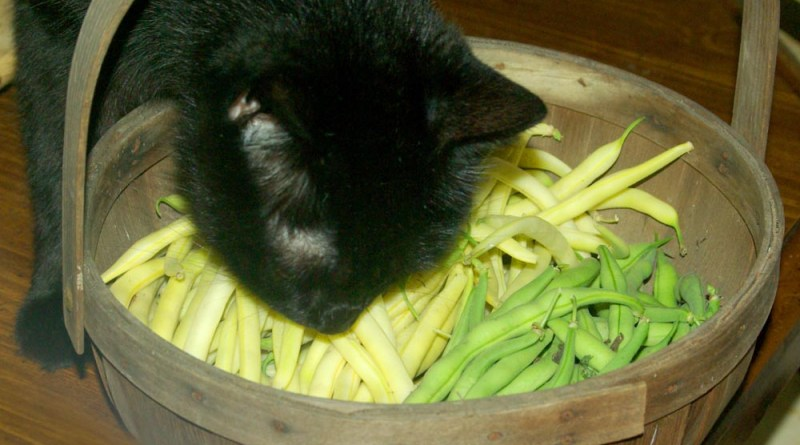 black cat with green and yellow beans
