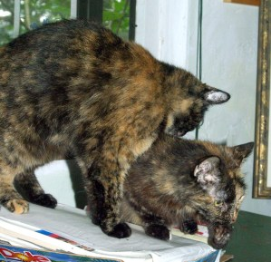 tortoiseshell cat bathing other tortoiseshell cat