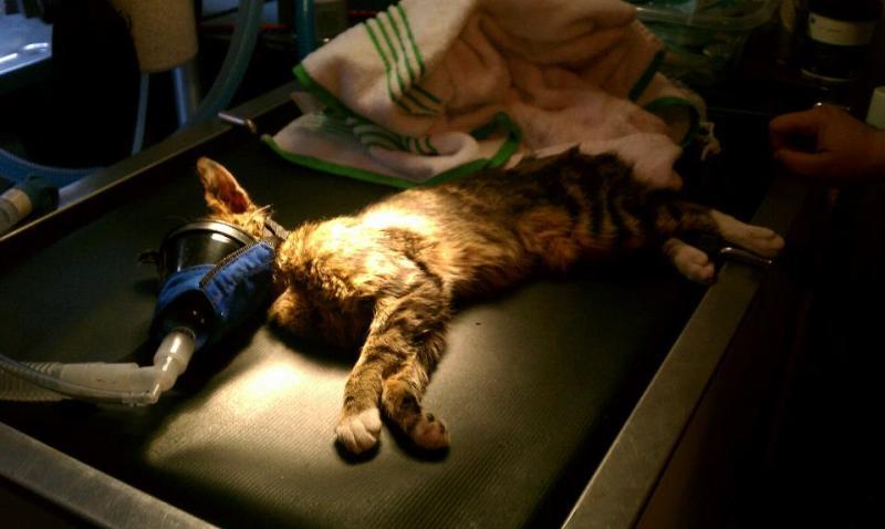 tabby cat on table at vet