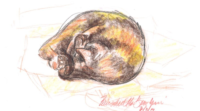 colored pencil sketch of cat curled in ball