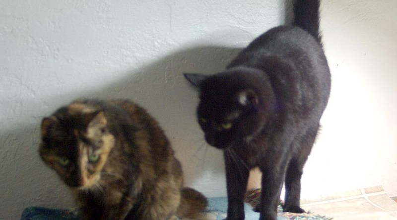 photo of a tortoiseshell cat and a black cat