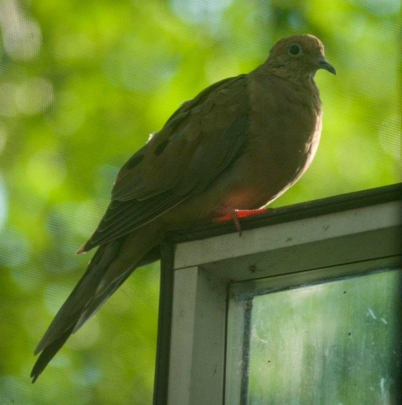 photo of dove on window