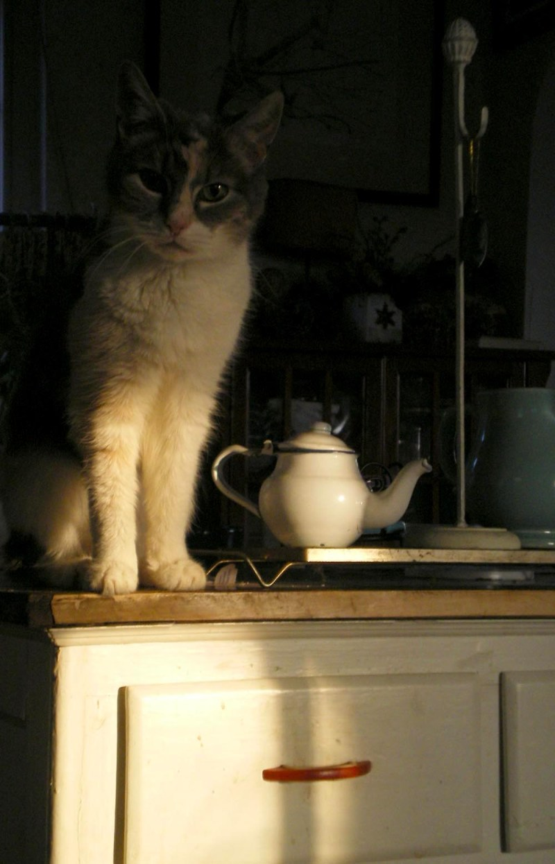 calico cat with teapot