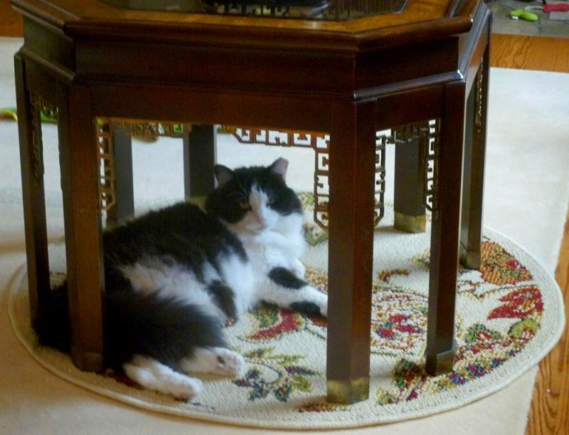 tuxedo cat under the table