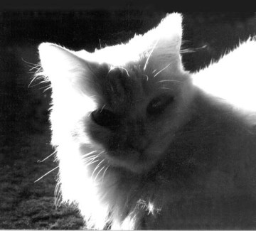 black and white photo of white cat