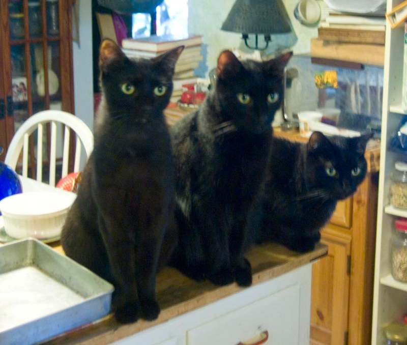 three black cats looking intently