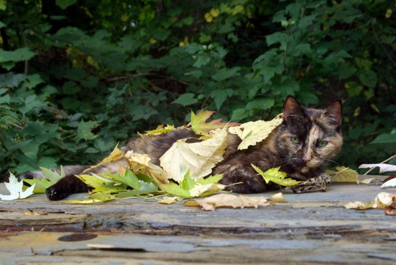 tortoiseshell cat covered with leaves