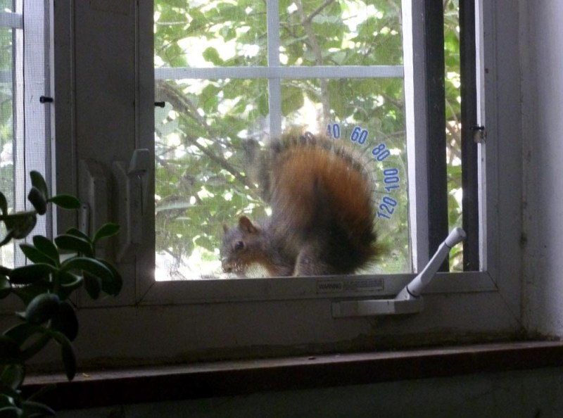 squirrel at window