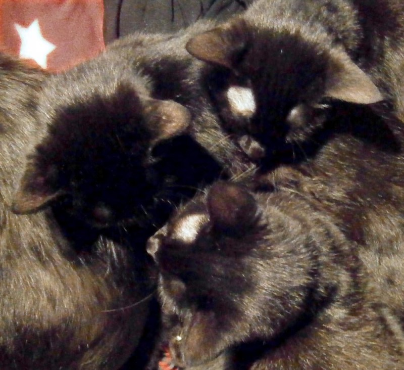 three black cats togehter