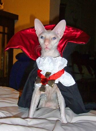 White cornish rex cat in dracula costume