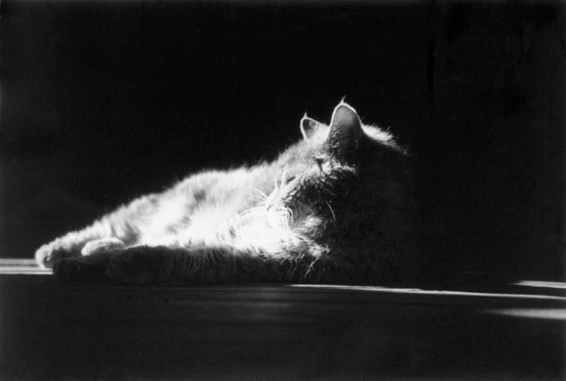 black and white photo of gray cat