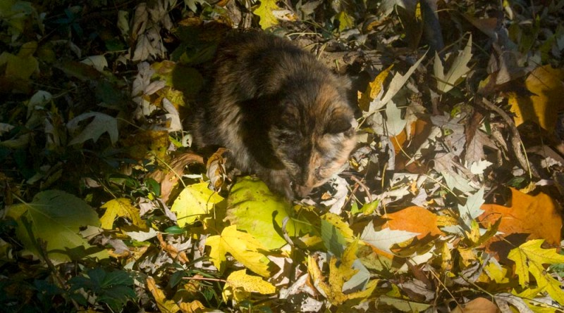 tortoiseshell cat in autumn leaves