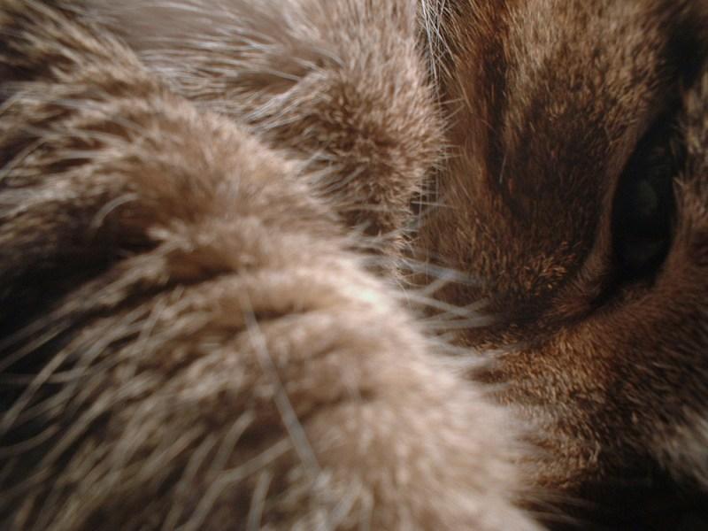 closeup of tabby cat