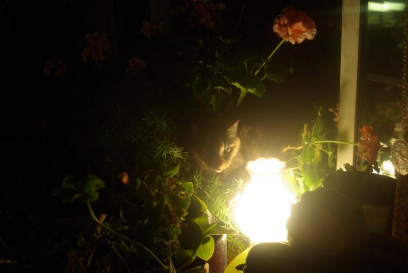 tortoiseshell cat in the geraniums