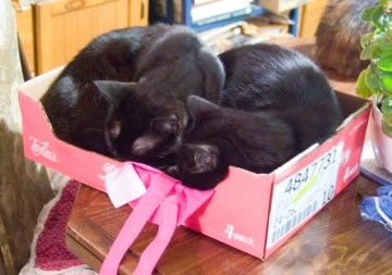 two black cats in pudding box