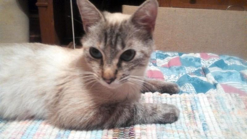 lilac-point kitten