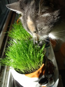 cat eating greens
