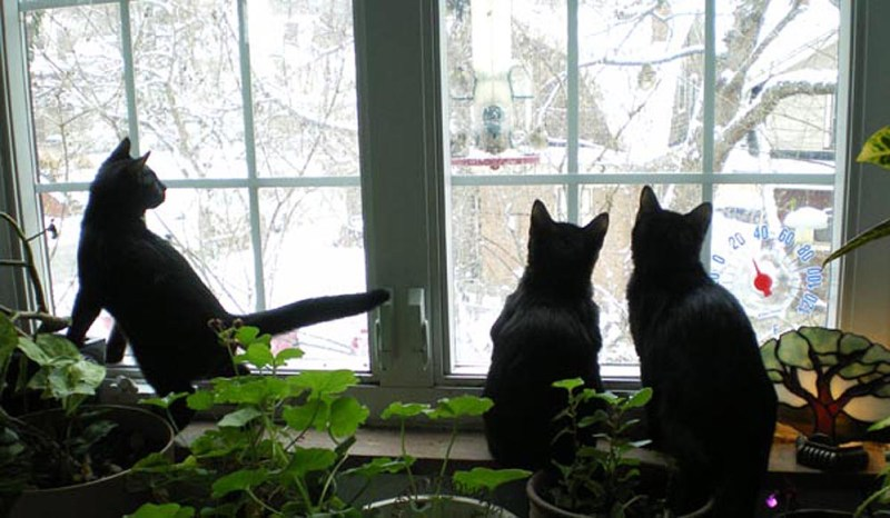 three cats watching birds at feeder
