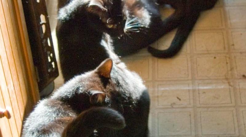 five black cats in the sun