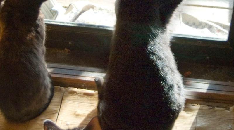 black cat with paw on window