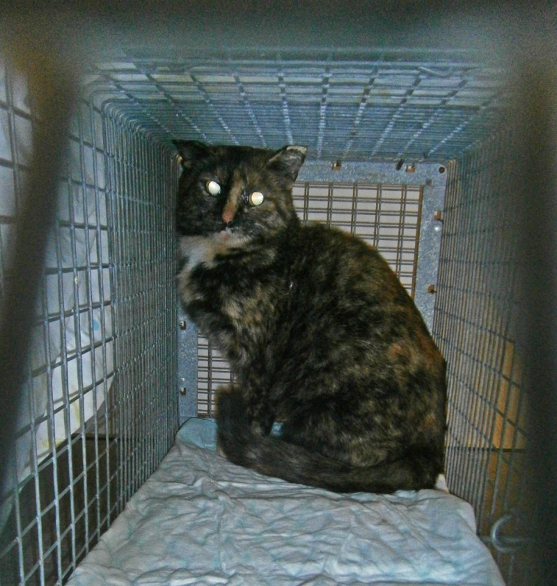 tortoiseshell cat in cage