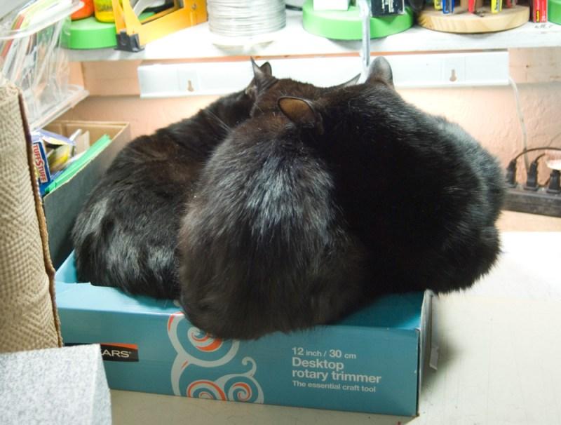 three black cats in box
