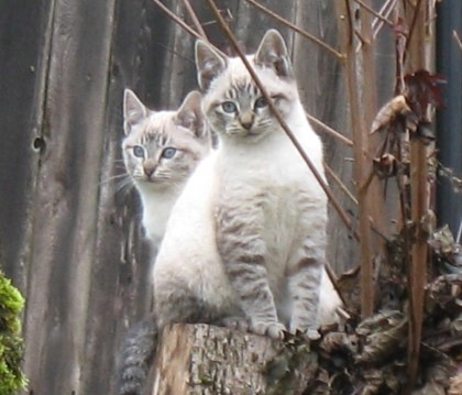 two siamese mix kittens