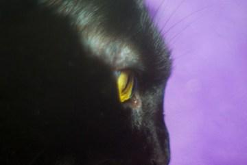 closeup of black cat on purple background