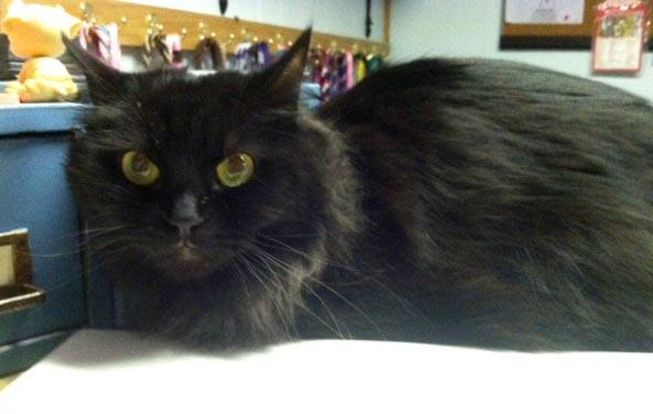 long-haired black cat