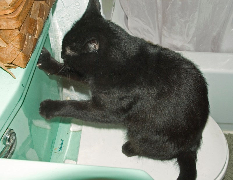 black cat scratching on toilet tank
