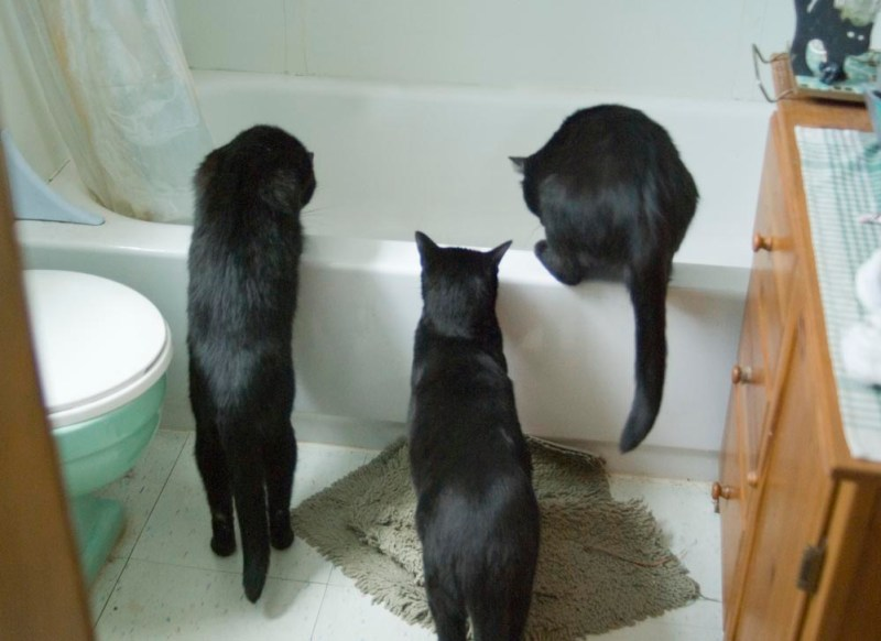 three black cats looking into tub