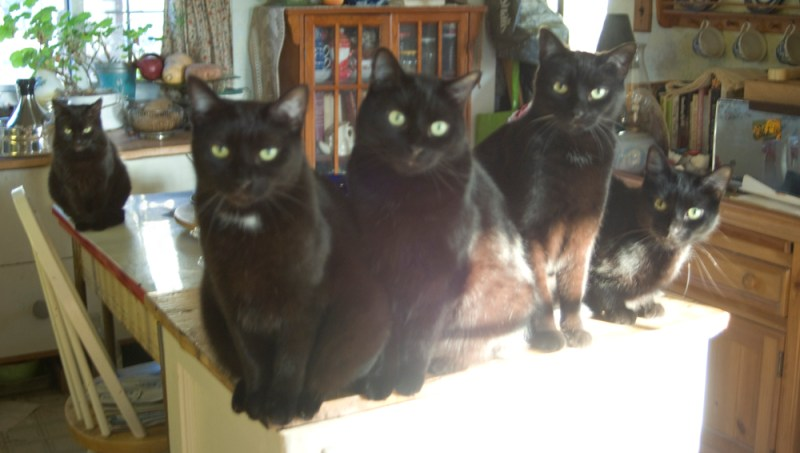 five black cats waiting for meal